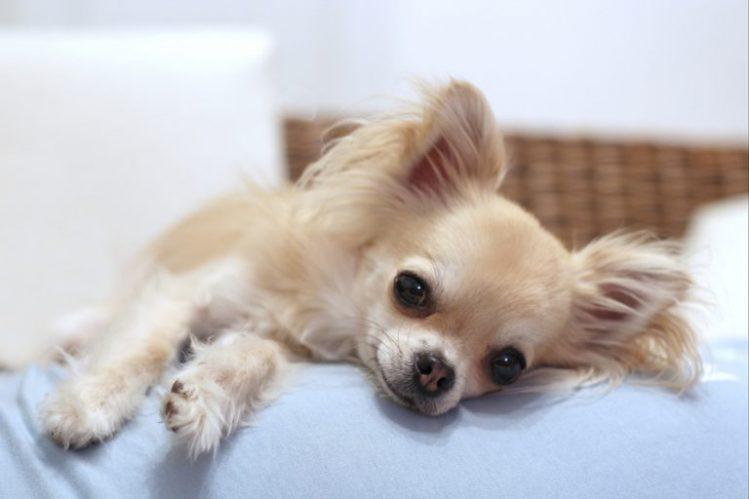 ベッドで横になるチワワ