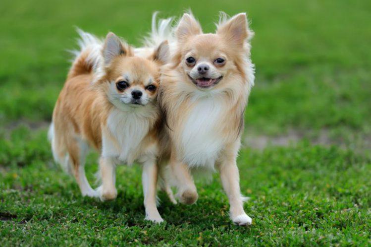 芝生の上でチワワ2匹がこちらに並んで歩いてきている様子
