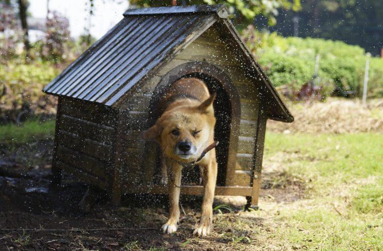 犬小屋の前でドリルしている犬