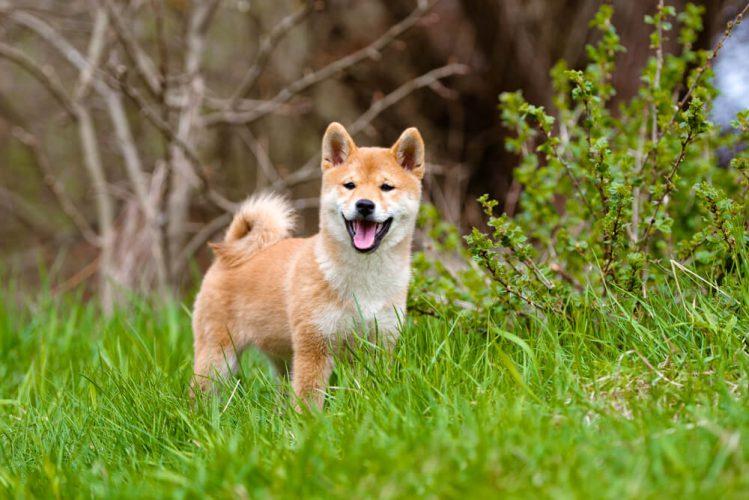 海外でも大人気!「柴犬」ってどんな犬?