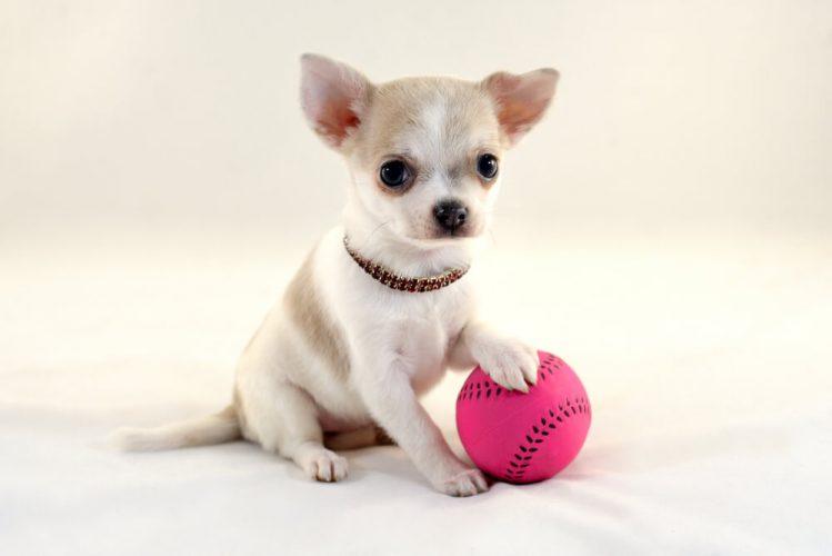 チワワってどんな犬?小さな体に大きな目が特徴のチワワの魅力とその歴史