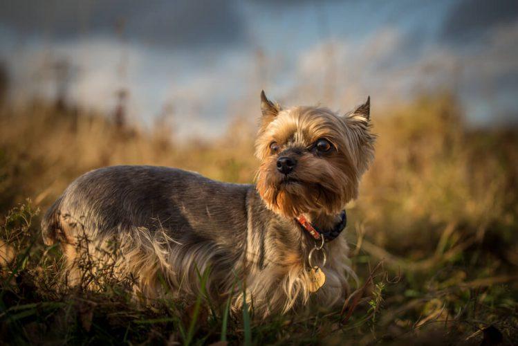 ヨークシャー・テリアってどんな犬? その魅力や歴史と飼うときのポイント