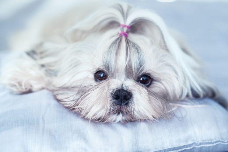 シーズーってどんな犬?魅力や歴史と飼うときのポイント