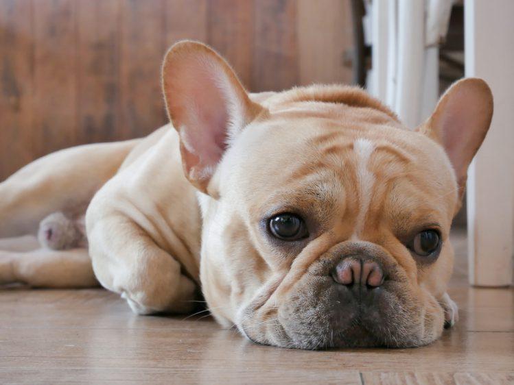 【獣医師監修】犬の元気がないときの理由や考えられる病気とは