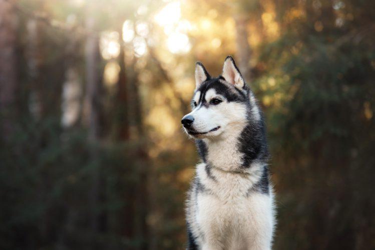 シベリアン・ハスキーってどんな犬?魅力と飼うときのポイント