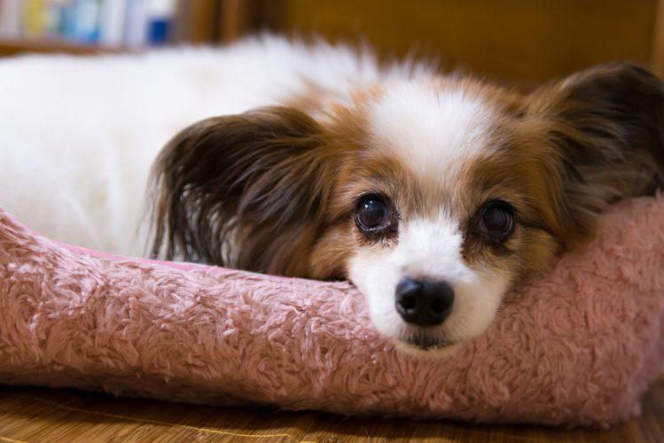 パピヨンってどんな犬?魅力と飼うときのポイント