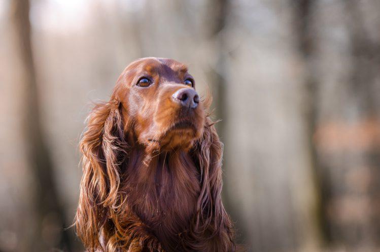 アイリッシュセッターってどんな犬?魅力と飼うときのポイント