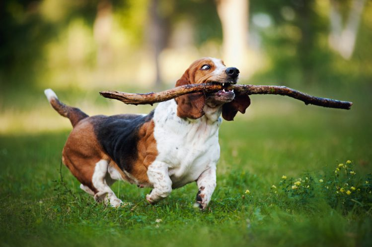 Image result for Basset Hound 犬  おもちゃで遊ぶ