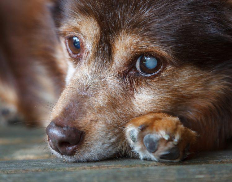 眼の中心が白く濁っているシニア犬の顔