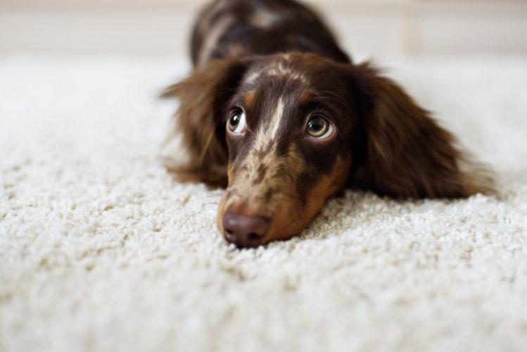 【獣医師監修】犬の椎間板ヘルニアは突然訪れる!症状と治療について
