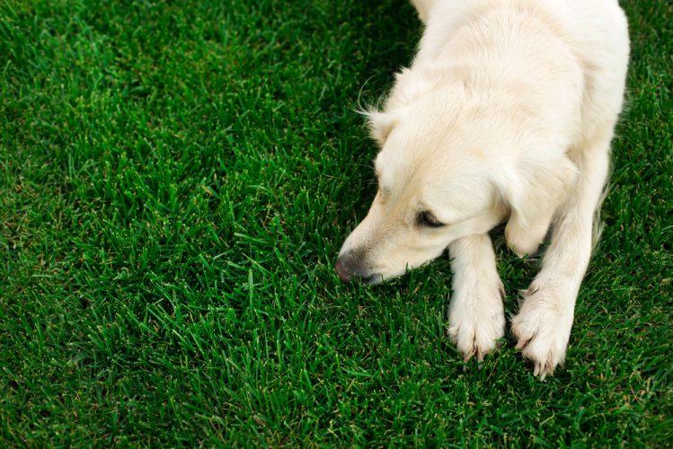 芝の上で伏せている若いゴールデンレトリーバー