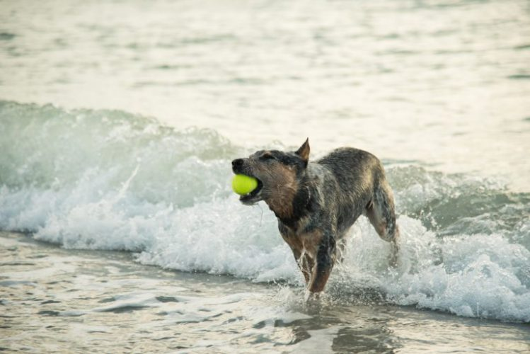 波打ち際でボール遊びをするミックス犬