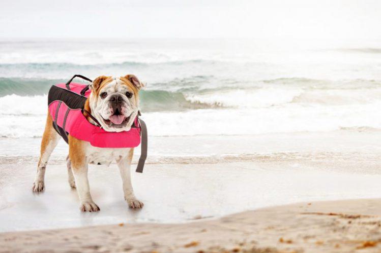 ピンクのライフジャケットを着て砂浜に立っている若いブルドッグ