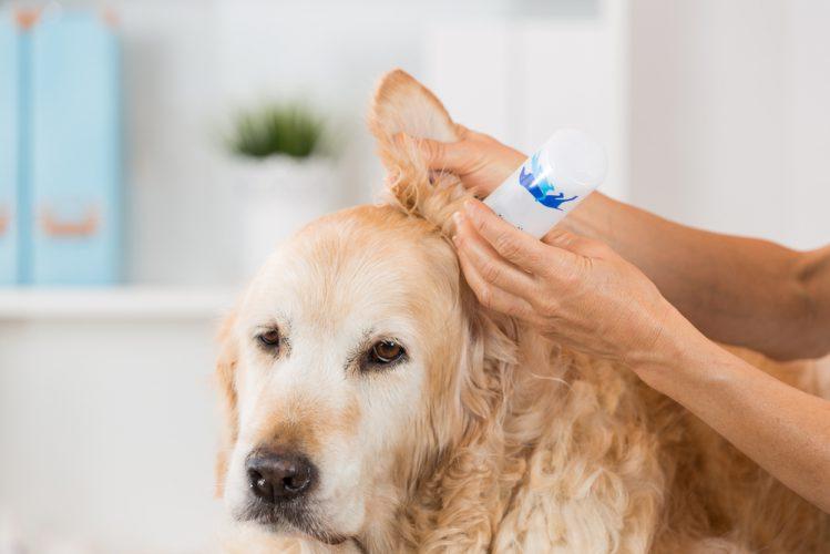 【専門家が解説】犬の耳掃除は自宅ケアが肝心!やり方や頻度は?