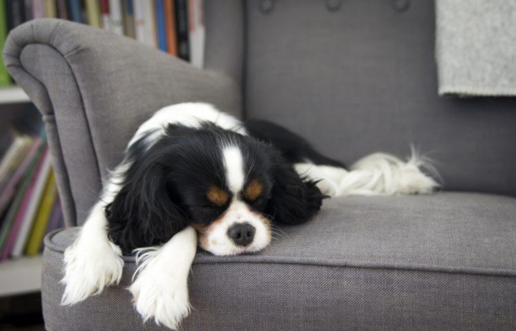 ソファで寝ているキャバリア