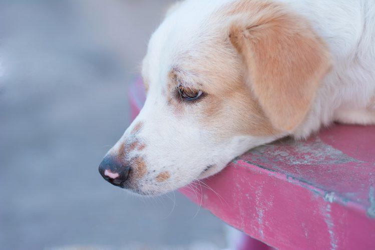 犬の皮膚がんの種類と症状