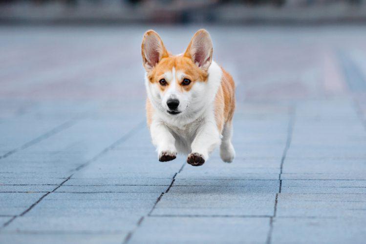 ウェルシュ・コーギー・ペンブロークってどんな犬?その性格や歴史