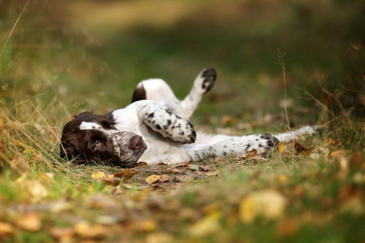 Resultado de imagen para 犬 English Springer Spaniel  へそ