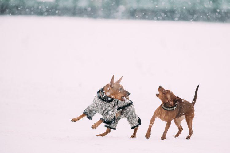雪の中で遊ぶ二匹のミニチュア・ピンシャー