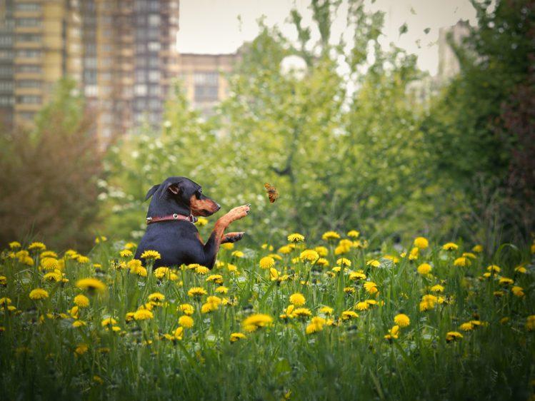花畑の中で蝶を追っているミニチュア・ピンシャー
