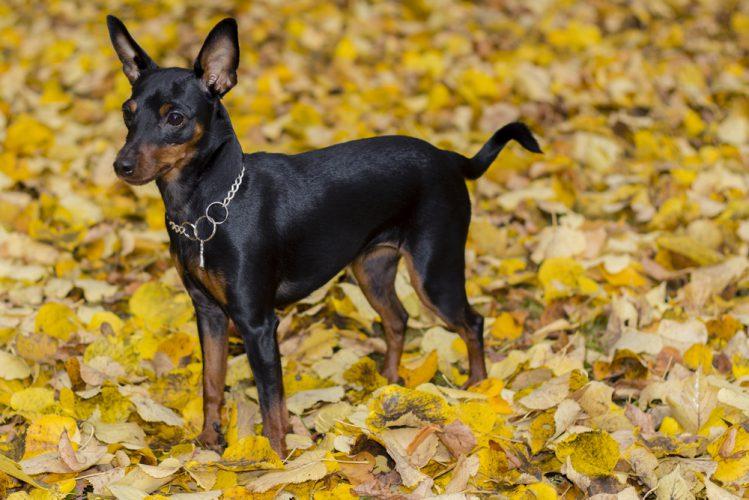 たくさんの落ち葉の中に立っているミニチュア・ピンシャー