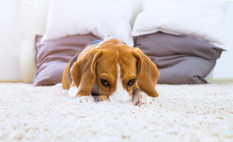 顔を伏せる犬
