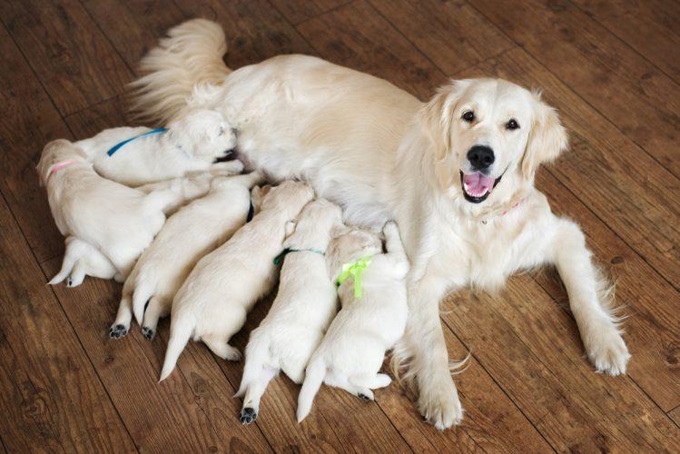母犬と7匹の子犬