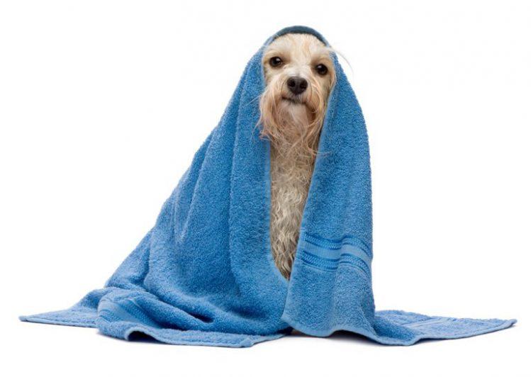 タオルにくるまる犬