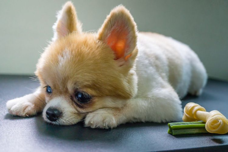 元気がない様子のポメラニアンの子犬
