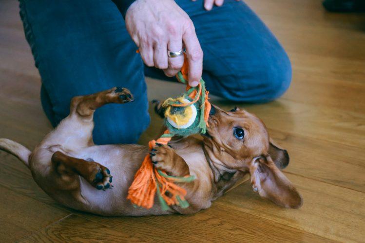 おもちゃで飼い主と遊ぶダックスの子犬