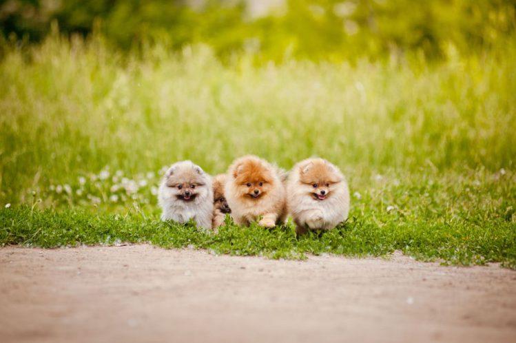 芝生の上の三匹のポメラニアン