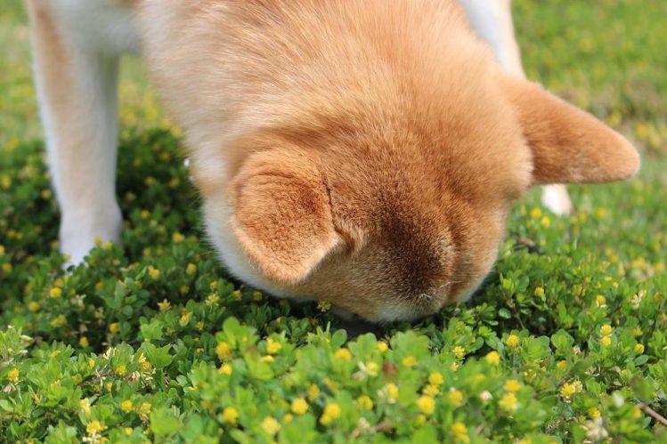 草が密集している所に顔を突っ込む柴犬②