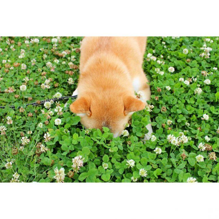 草が密集している所に顔を突っ込む柴犬③