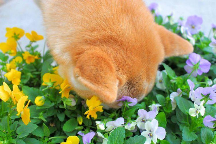 草が密集している所に顔を突っ込む柴犬⑤