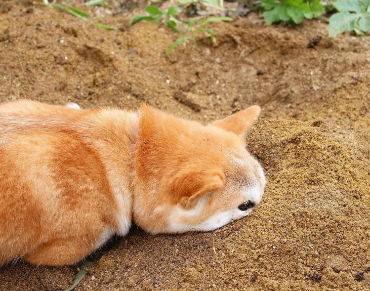 土のなかに鼻先をうずめてじっとしている柴犬