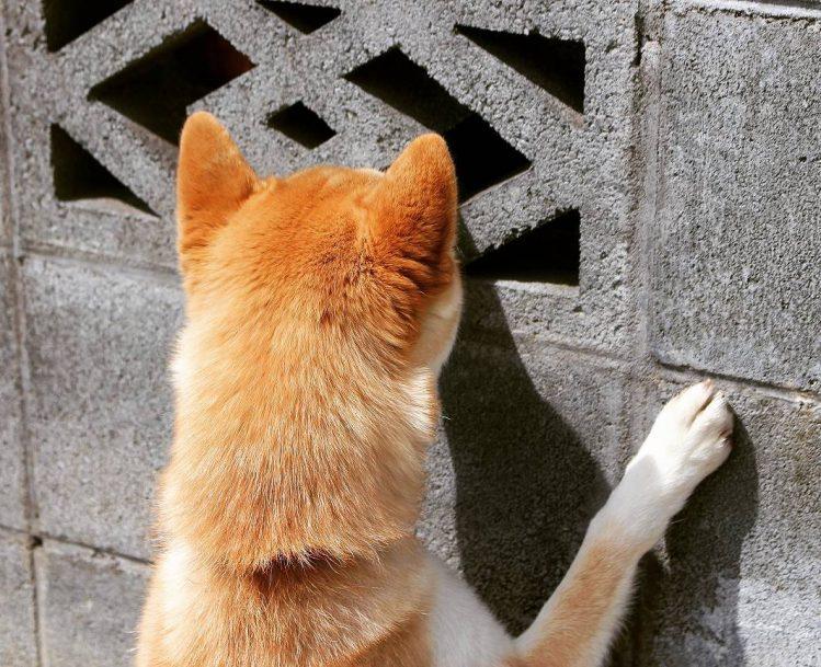 ブロック塀の穴に顔を寄せる柴犬
