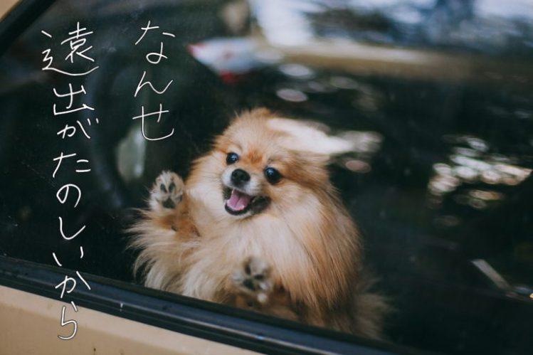 車の窓から外を見るポメラニアン