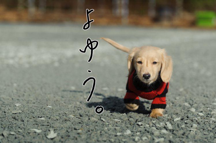 外を歩いているダックスの子犬