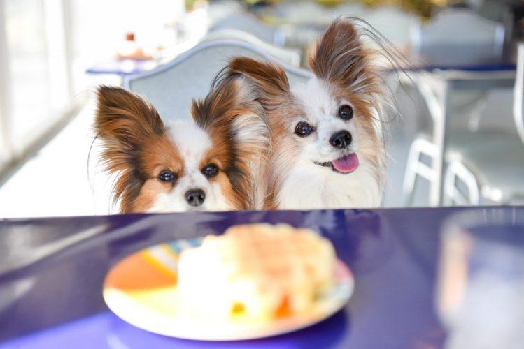 お皿の前に2匹のパピヨンが仲良くお座りをしている様子