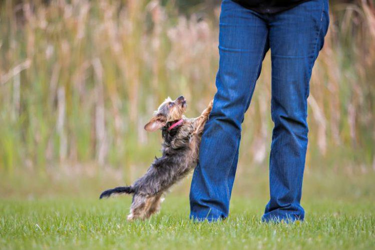 飼い主の足に飛びついているヨークシャテリア