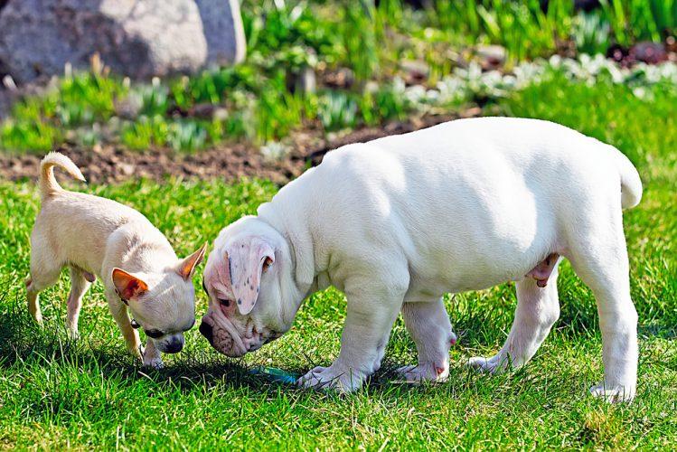 芝生の匂いを嗅ぐ2匹の犬