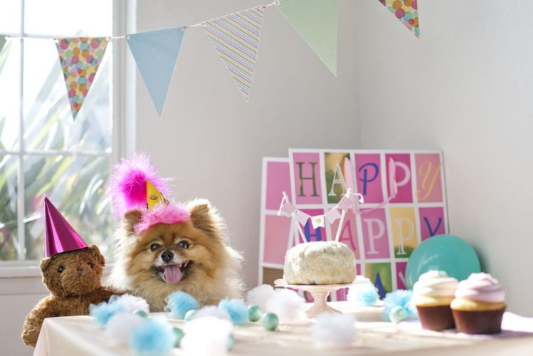 誕生日パーティ中のポメラニアン