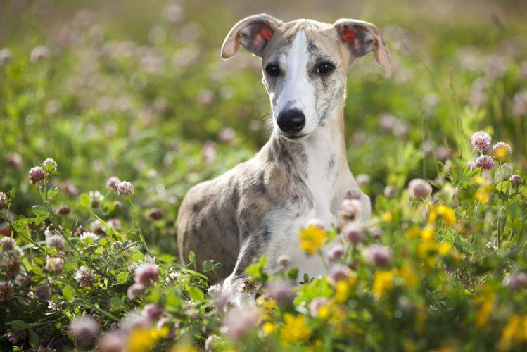 草むらからこちらを見るウィペット
