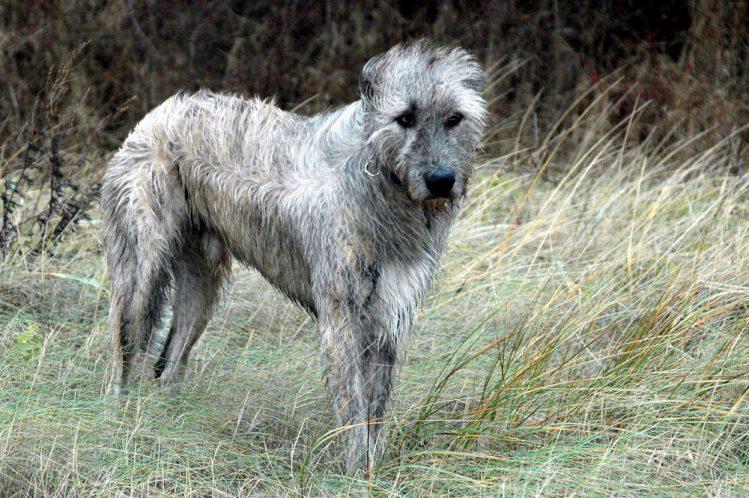 【ギネス尻尾最長記録犬種】アイリッシュ・ウルフハウンドの魅力から歴史まで