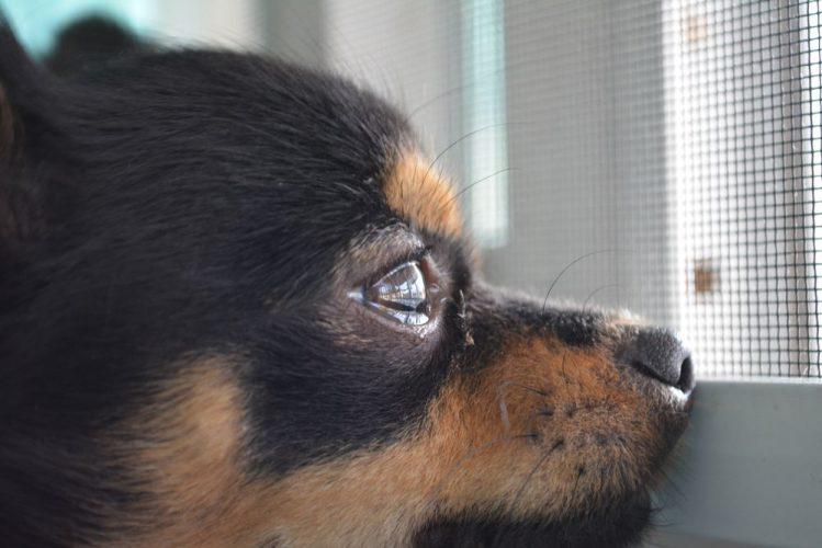 涙を流している犬が遠くを見つめている様子