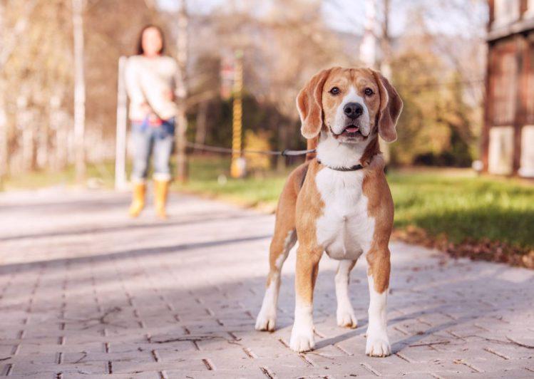 こちらを見る散歩中の犬