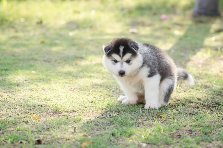 シベリアンハスキーの子犬がフンをしようとしている様子
