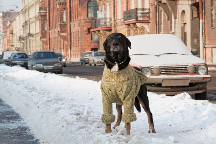 人間用のセーターを着ている大型犬