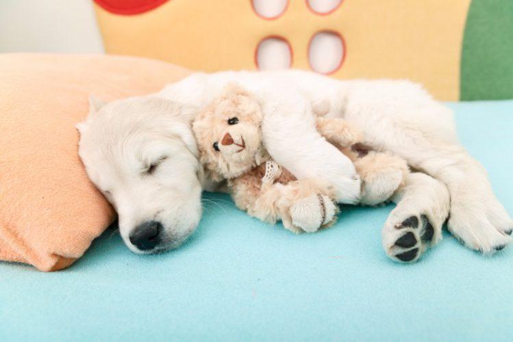 ぬいぐるみを抱いて寝るゴールデンの子犬