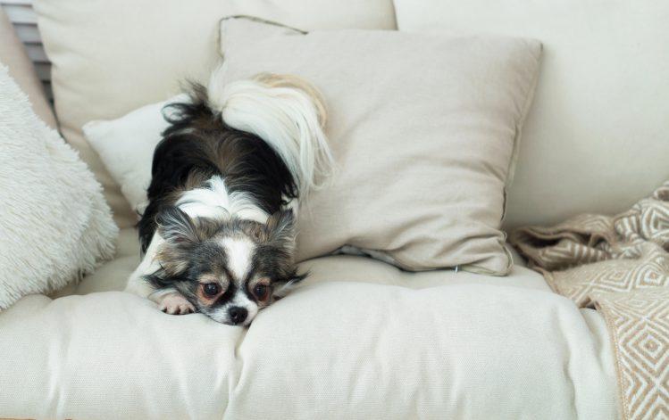 ソファの上で寝そべるチワワ
